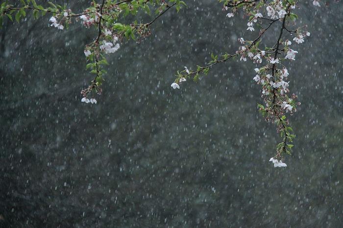 桜一会・・・奇跡の一会_a0122544_20302886.jpg