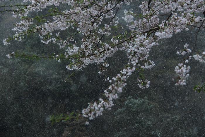 桜一会・・・奇跡の一会_a0122544_2030396.jpg