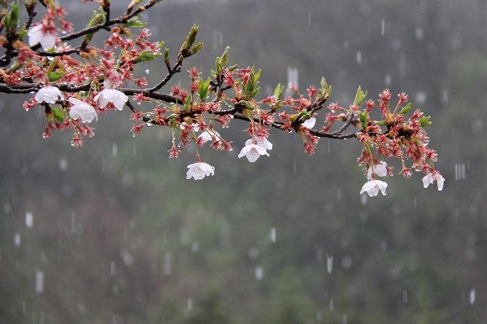 桜一会・・・奇跡の一会_a0122544_20305979.jpg