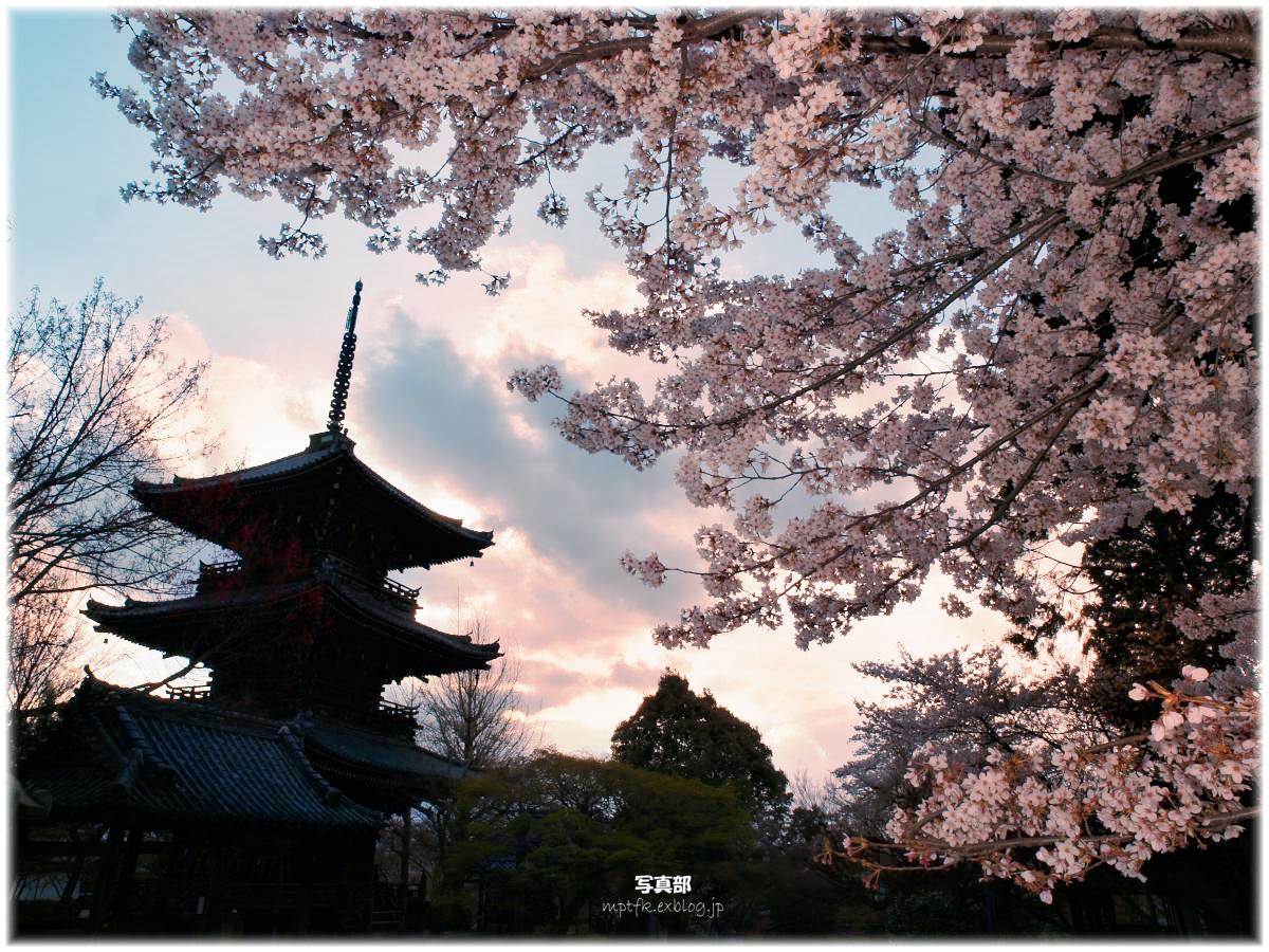 京都 真如堂 桜と三重塔_f0021869_22555953.jpg