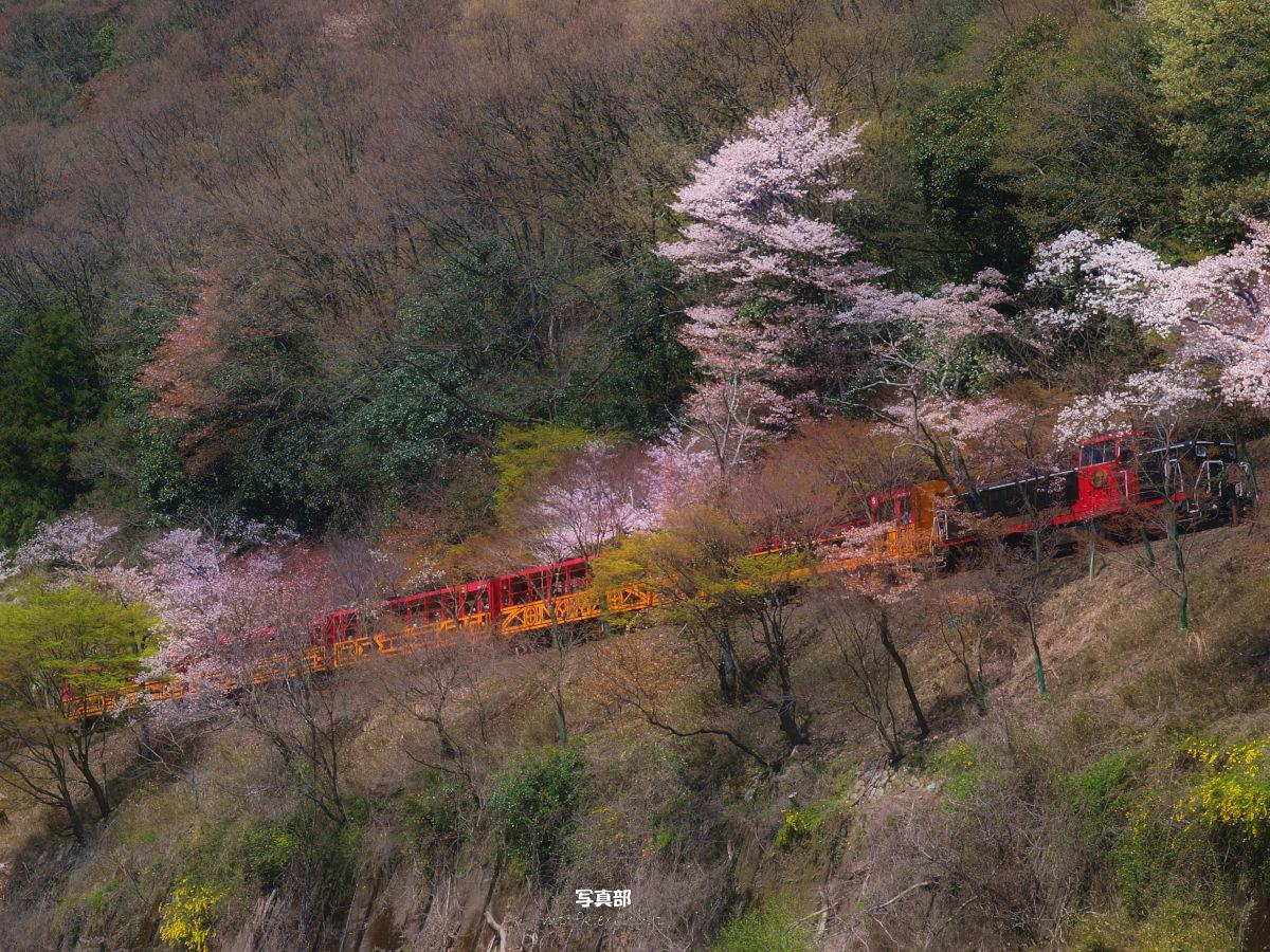 京都 トロッコ列車と桜_f0021869_22591192.jpg
