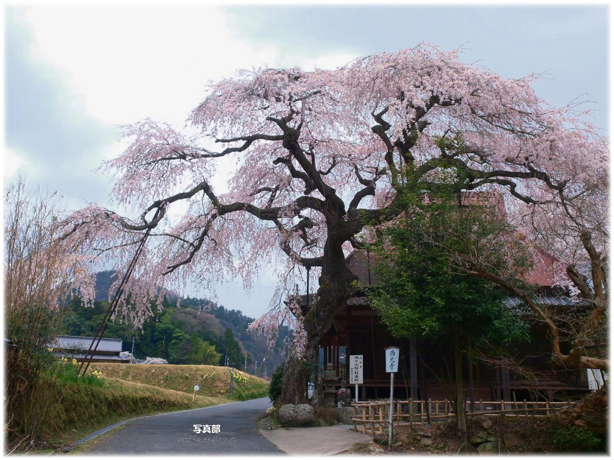 奈良 西光寺 枝垂れ桜_f0021869_2314427.jpg