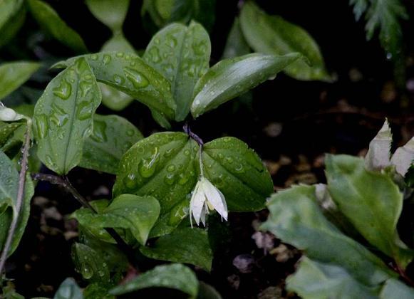 今日も冷たい雨が            チゴユリ咲く _a0107574_6455574.jpg