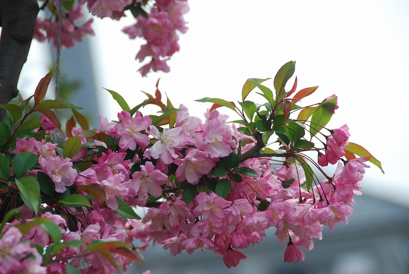 近くの春の花々_c0187781_19514727.jpg