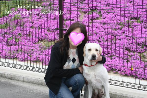 マーガレットと芝桜!!_b0136683_16161716.jpg