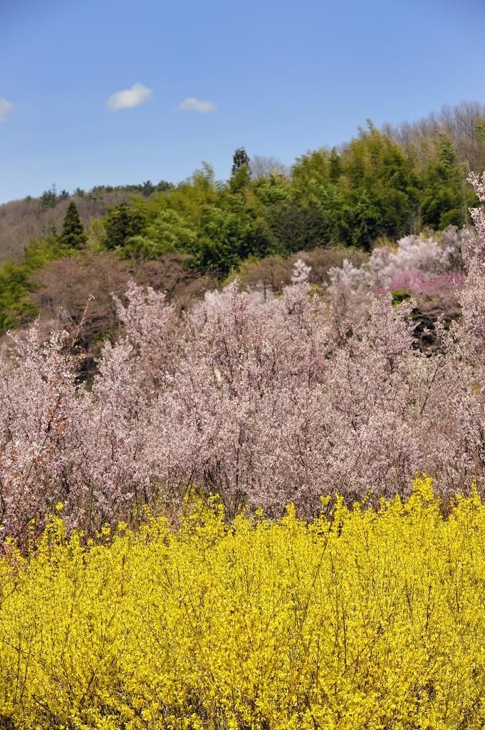 福島県 花見山♪_e0171886_22241641.jpg