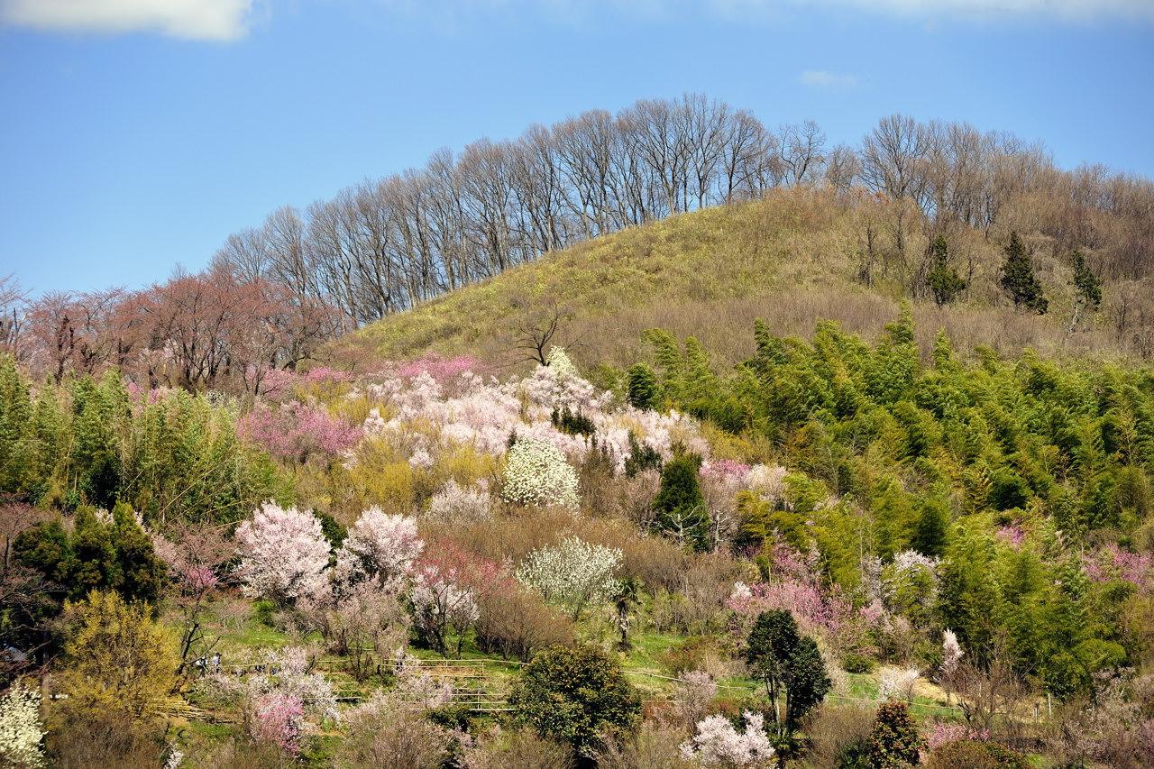福島県 花見山♪_e0171886_22303117.jpg