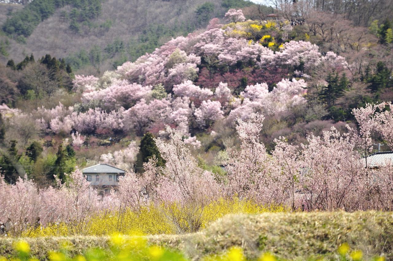 福島県 花見山♪_e0171886_2283944.jpg