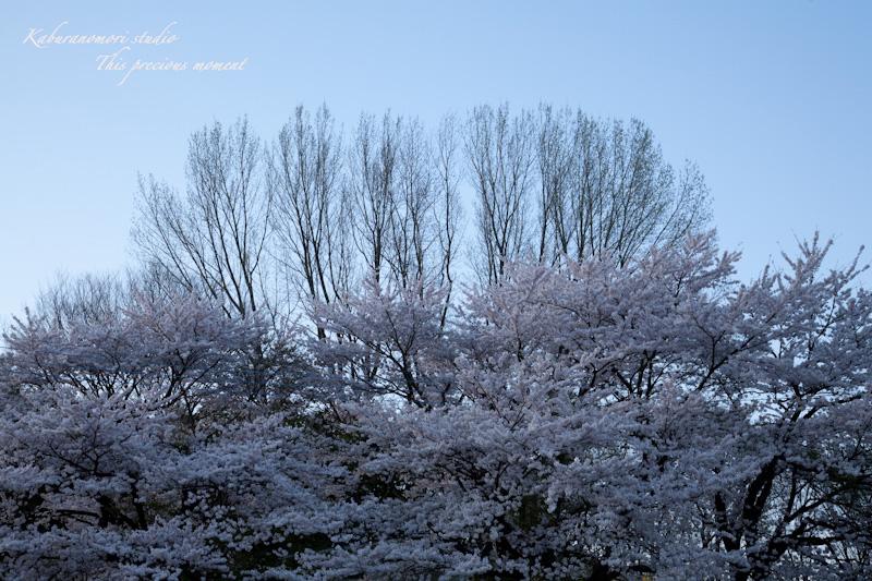 夕暮れの桜_c0137403_18593764.jpg