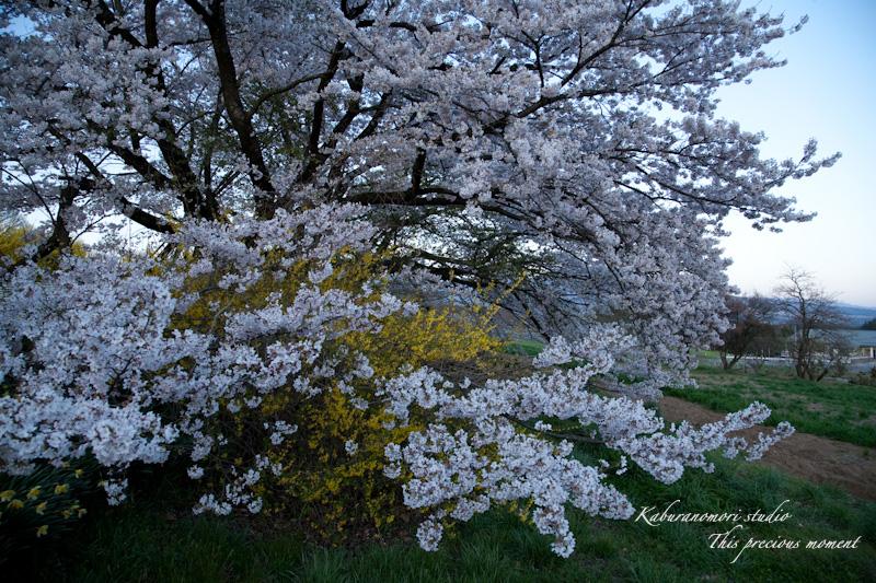 夕暮れの桜_c0137403_1903145.jpg