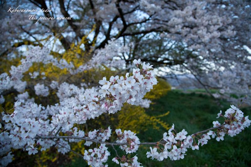 夕暮れの桜_c0137403_1905968.jpg