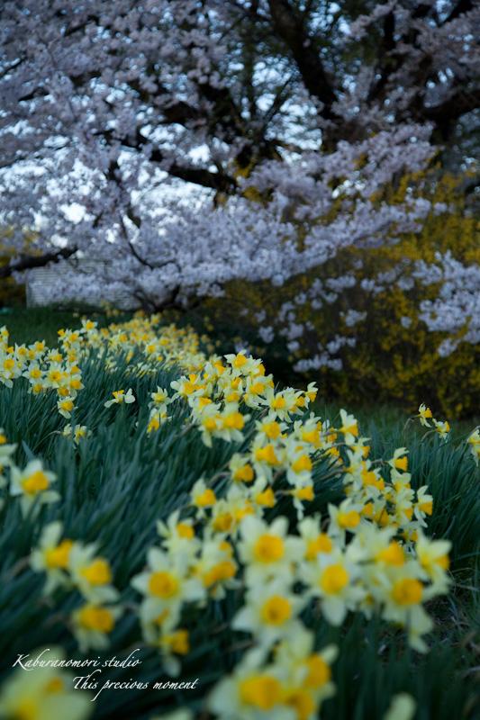 夕暮れの桜_c0137403_1912850.jpg