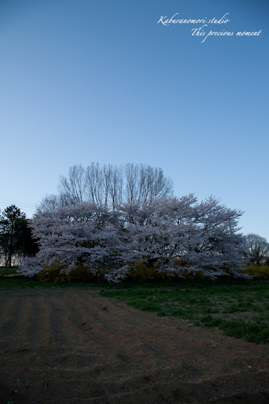 夕暮れの桜_c0137403_19295152.jpg
