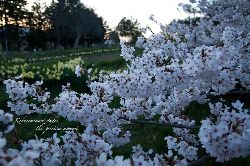 夕暮れの桜_c0137403_1935949.jpg