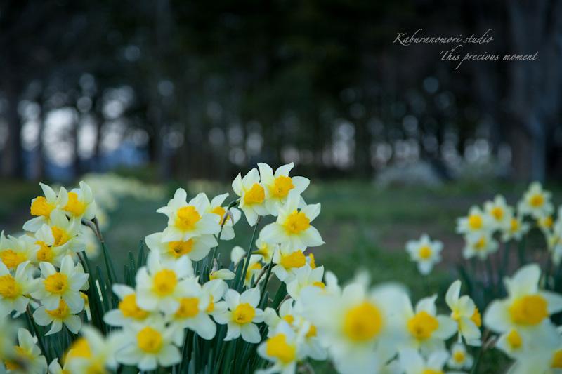 夕暮れの桜_c0137403_1942382.jpg