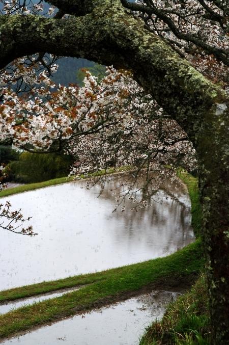三多気の桜 ~棚田に映りこむ 日本の春~_d0145934_16102522.jpg