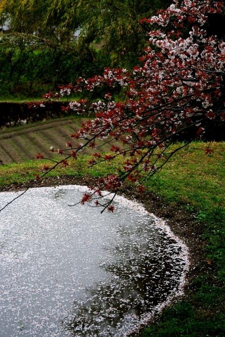 三多気の桜 ~棚田に映りこむ 日本の春~_d0145934_16104577.jpg