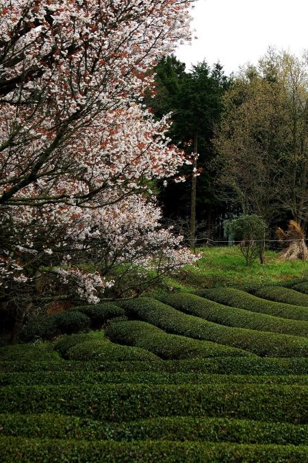 三多気の桜 ~棚田に映りこむ 日本の春~_d0145934_16112853.jpg
