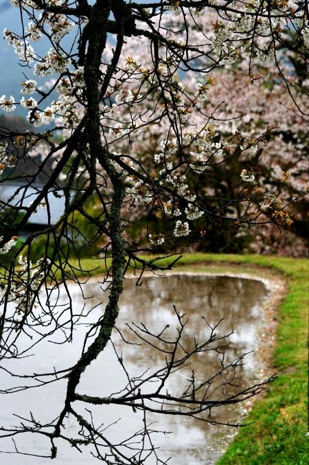 三多気の桜 ~棚田に映りこむ 日本の春~_d0145934_1611487.jpg