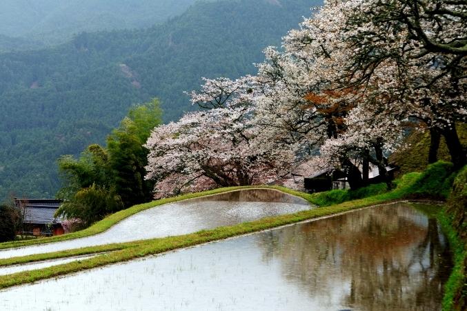 三多気の桜 ~棚田に映りこむ 日本の春~_d0145934_1695866.jpg