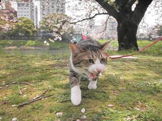 春が来た!フォトコンテスト猫 ぽー編。_a0143140_17594272.jpg