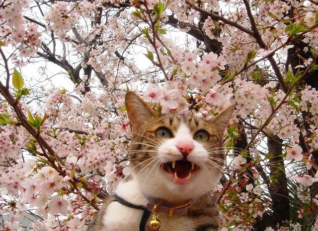 春が来た!フォトコンテスト猫 ぽー編。_a0143140_18291244.jpg