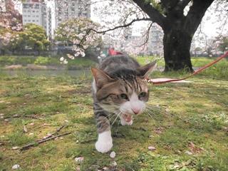 春が来た!フォトコンテスト猫 ぽー編。_a0143140_1841793.jpg