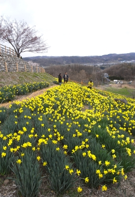 上田城の桜と、信州国際音楽村の水仙_c0110869_23191390.jpg