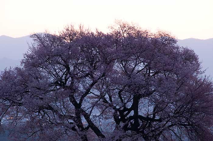 わに塚の桜_c0085877_7212114.jpg