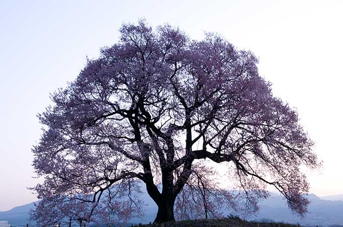 わに塚の桜_c0085877_7212937.jpg