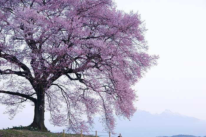 わに塚の桜_c0085877_7213859.jpg
