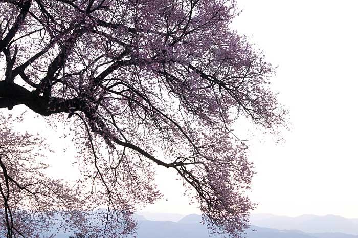 わに塚の桜_c0085877_7214629.jpg