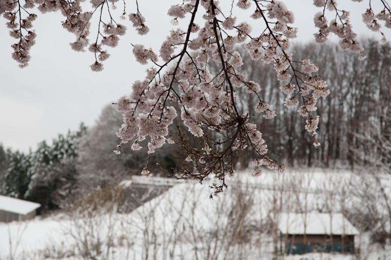 雪と桜と青空と_c0137403_2125529.jpg
