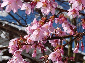 雪桜2010_f0019247_1125818.jpg
