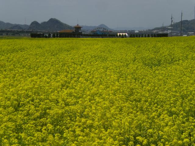 菜の花畑・・・・・_b0152548_12553766.jpg