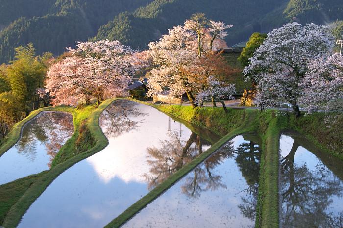 三多気の桜_e0056449_21482985.jpg