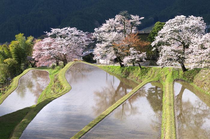 三多気の桜_e0056449_2155539.jpg