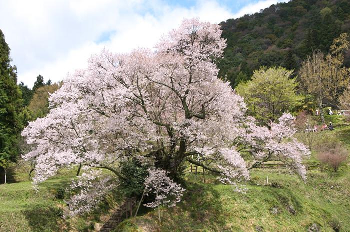 三多気の桜_e0056449_22185324.jpg