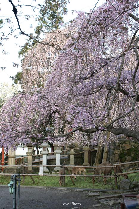 氷室神社の朝_a0116472_1151755.jpg