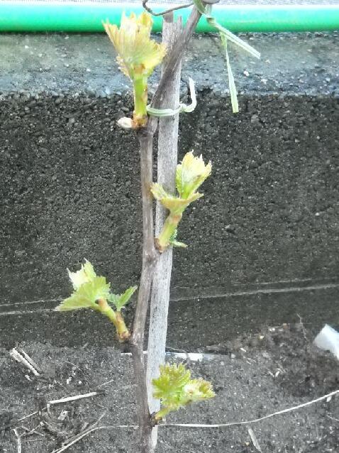 ブドウの新芽が食べられる件_f0018078_17152866.jpg