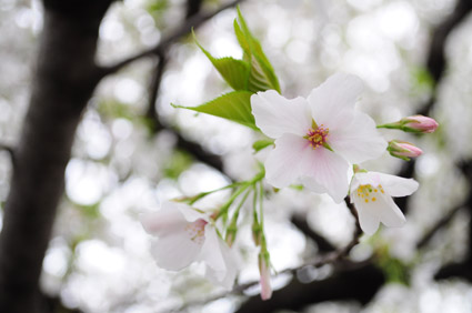 white sakura_c0229485_3232183.jpg