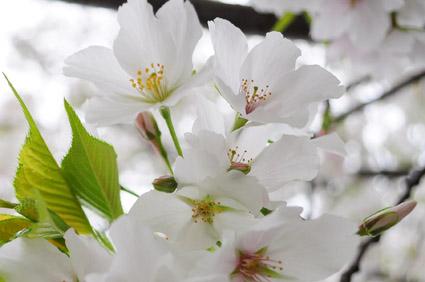white sakura_c0229485_326446.jpg
