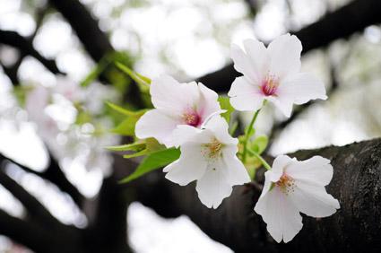 white sakura_c0229485_3324446.jpg