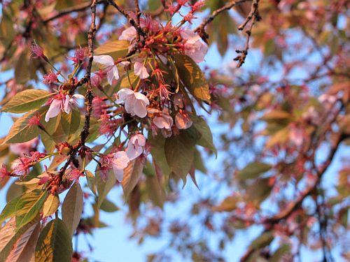桜まつり最終日に特別なインプレッサを比較テスト_f0076731_1510272.jpg