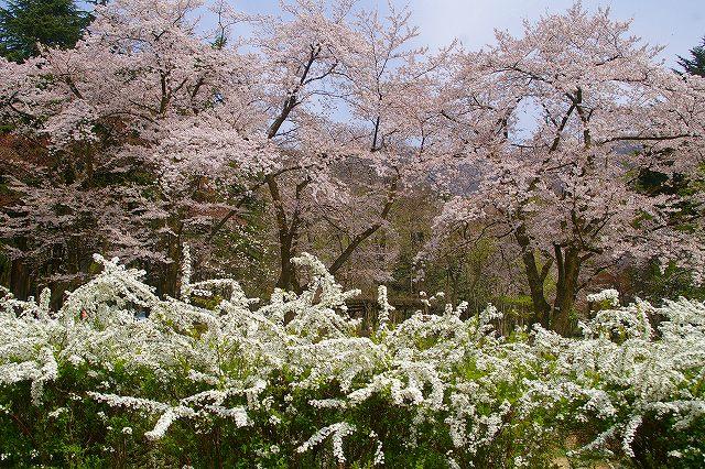 桜とユキヤナギ・・・鶴来樹木公園(1)_d0043136_22211161.jpg