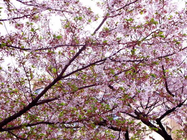 カッパ葉桜_c0039145_2238529.jpg