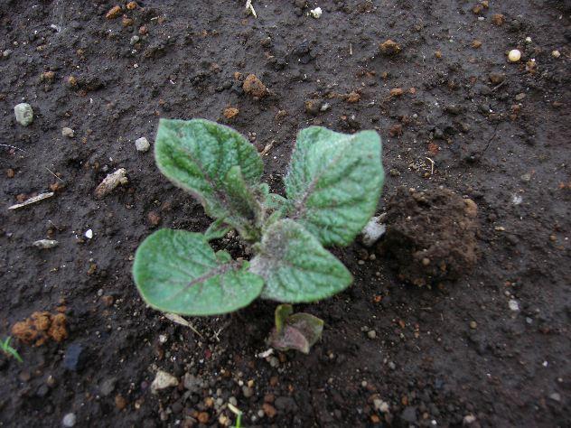 ようやくジャガイモの発芽_c0053863_17572279.jpg