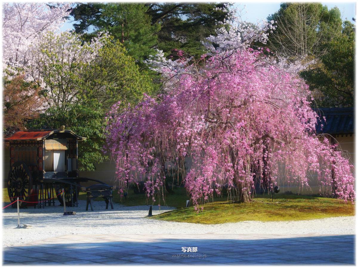 京都 大覚寺 桜_f0021869_23355814.jpg