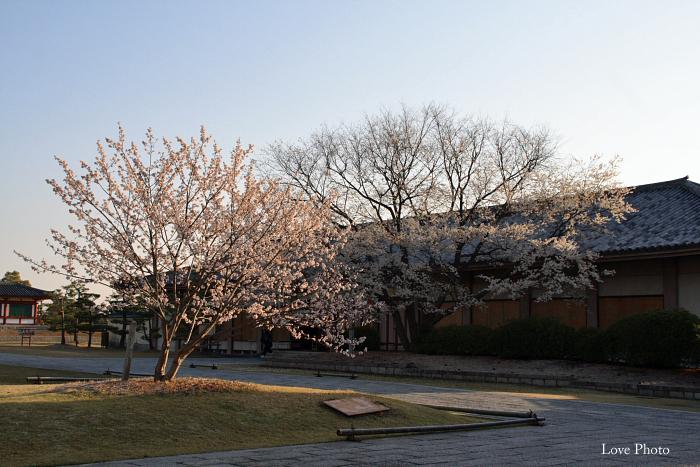 薬師寺 薄墨桜と鳥_a0116472_2255319.jpg