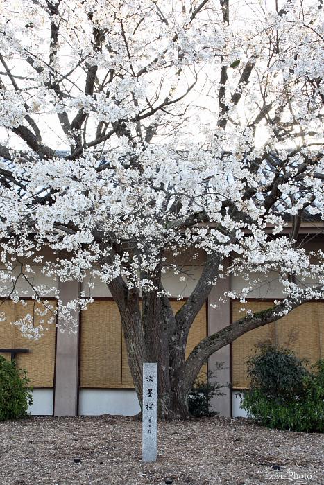 薬師寺 薄墨桜と鳥_a0116472_22553893.jpg